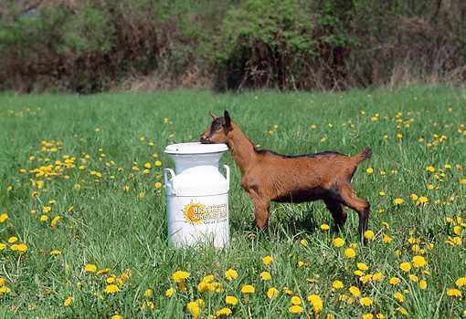 MAM 17 LS0011 01 © Kimball Stock Oberhasli Goat Kid Standing By White Milk Can In Field Of Dandelions