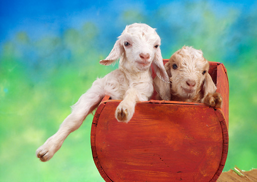 MAM 17 RC0001 01 © Kimball Stock Two White Goat Kids Sitting In Red Wooden Trough