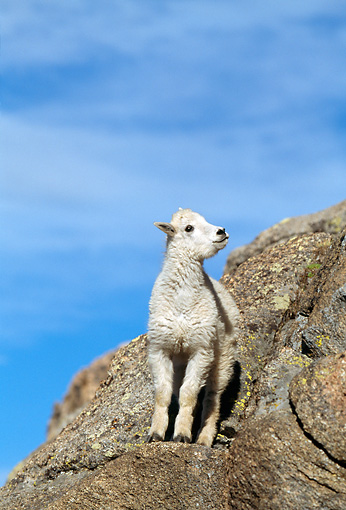 MAM 17 RF0018 01 © Kimball Stock Mountain Goat Kid Standing On Rock Slope Blue Sky