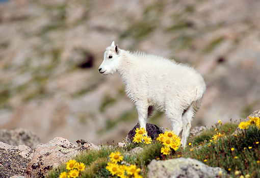 MAM 17 RF0019 01 © Kimball Stock Mountain Goat Kid Standing On Rock Slope By Yellow Flowers