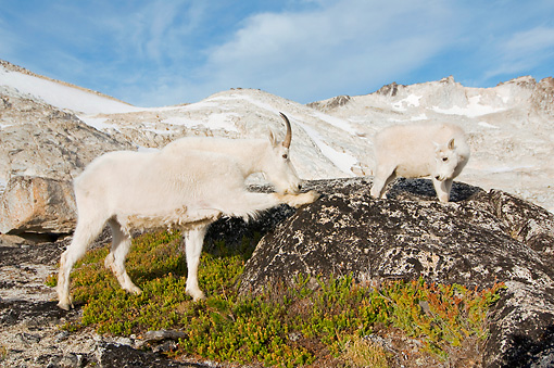MAM 17 SK0002 01 © Kimball Stock Mountain Goat Mother And Kid Standing On Boulder