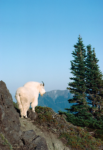 MAM 17 TK0001 01 © Kimball Stock Mountain Goat Standing In Mountains By Trees Blue Sky