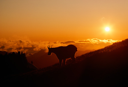 MAM 17 TK0002 01 © Kimball Stock Silhouette Of Mountain Goat Descending Mountainside At Sunset
