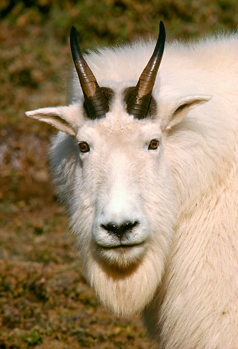 MAM 17 TL0001 01 © Kimball Stock Portrait Head Shot Of Mountain Goat