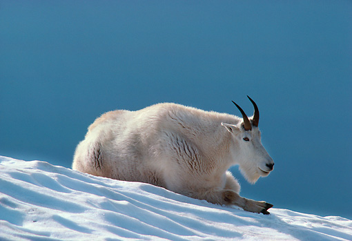 MAM 17 TL0002 01 © Kimball Stock Mountain Goat Resting On Snow