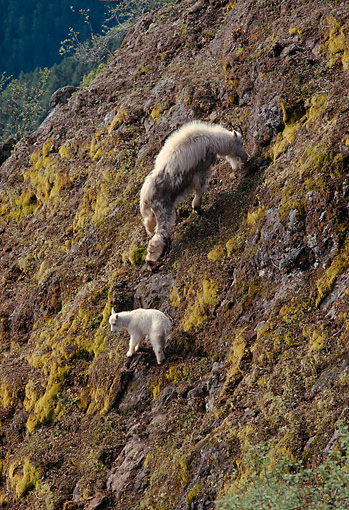 MAM 17 TL0003 01 © Kimball Stock Mountain Goat Nanny Grazing With Kid On Mountain