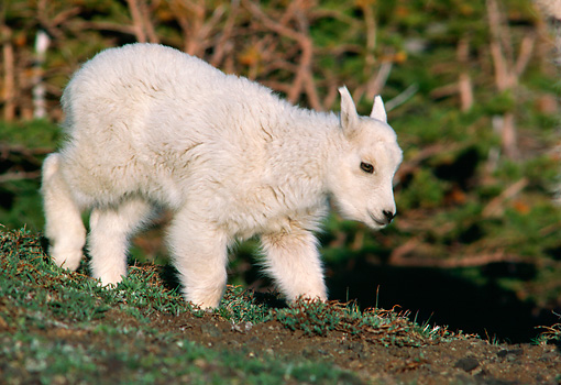 MAM 17 TL0004 01 © Kimball Stock Portrait Of Mountain Goat Kid