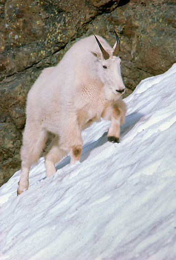 MAM 17 TL0005 01 © Kimball Stock Portrait Of Mountain Goat On Snow Mountain