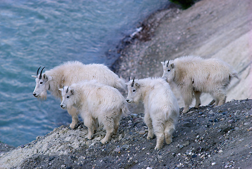 MAM 17 TL0007 01 © Kimball Stock Mountain Goats Nanny And Three Kids On Mountain