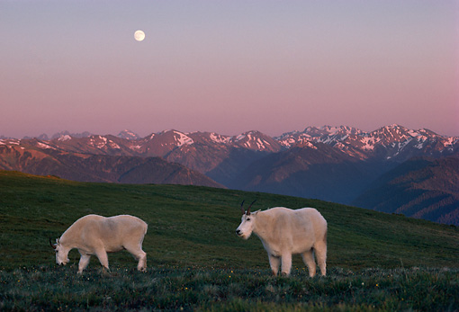 MAM 17 TL0008 01 © Kimball Stock Two Mountain Goats On Pasture At Sunset