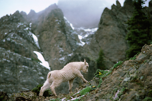 MAM 17 TL0009 01 © Kimball Stock Mountain Goat Kid Climbing On Rock Mountain