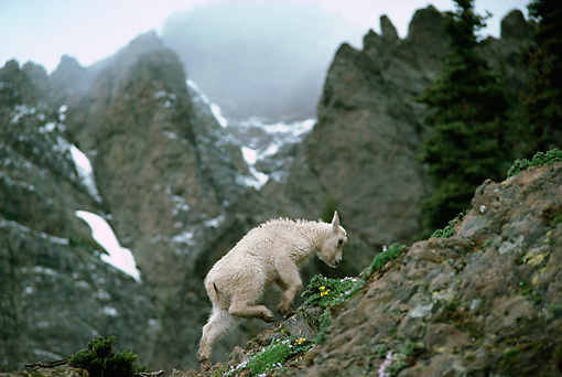 MAM 17 TL0010 01 © Kimball Stock Mountain Goat Kid Climbing On Rock Mountain