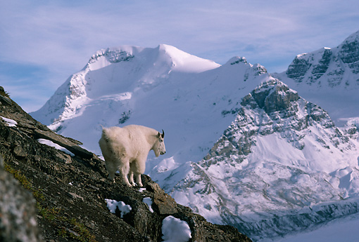 MAM 17 TL0011 01 © Kimball Stock Mountain Goat Climbing In Mountains