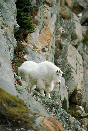 MAM 17 TL0012 01 © Kimball Stock Mountain Goat Climbing On Rock Mountain