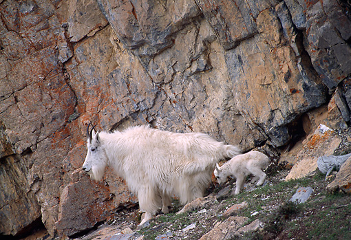 MAM 17 TL0013 01 © Kimball Stock Mountain Goat Mother And Kid Climbing On Rock Mountain