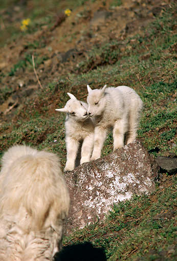 MAM 17 TL0014 01 © Kimball Stock Two Mountain Goat Kids Climbing On Rock On Grassy Hillside