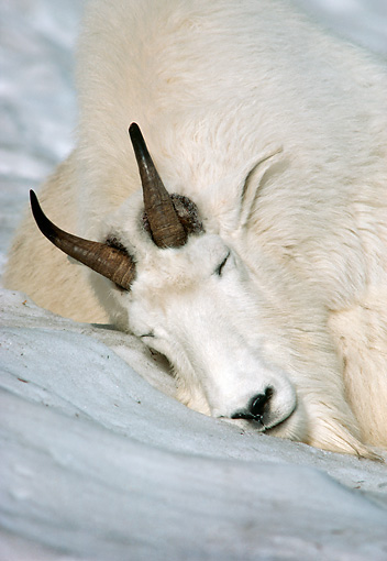 MAM 17 TL0015 01 © Kimball Stock Head Shot Of Mountain Goat Billy Sleeping On Snowy Hillside