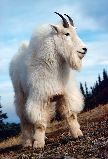 MAM 17 TL0016 01 © Kimball Stock Portrait Of Mountain Goat Billy Standing On Hillside Trees Sky Clouds