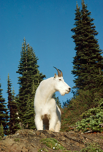 MAM 17 TL0017 01 © Kimball Stock Portrait Of Mountain Goat Billy Standing On Outcrop Below Pine Trees Blue Sky