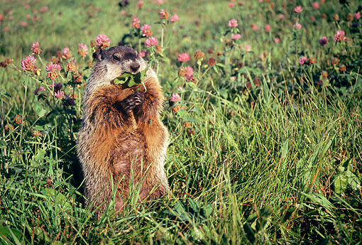 MAM 18 BA0001 01 © Kimball Stock Groundhog Sitting Up Eating Plant In Field With Pink Flowers