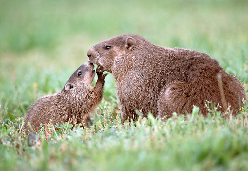 MAM 18 GR0001 01 © Kimball Stock Baby And Mother Groundhog Kissing In Field Profile