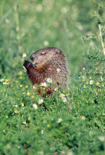 MAM 18 LS0001 01 © Kimball Stock Groundhog Standing In Field Eating Plant