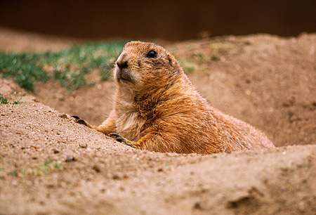 MAM 18 RK0004 01 © Kimball Stock Groundhog Peeking Out Of Burrow