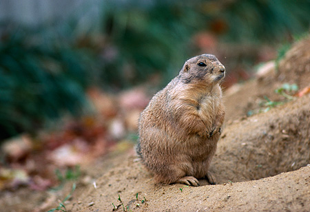 MAM 18 RK0005 04 © Kimball Stock Groundhog Sitting By Burrow