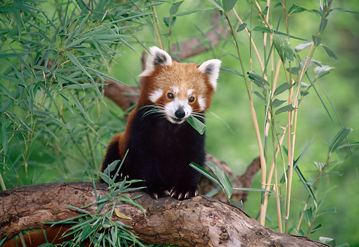 MAM 20 KH0001 01 © Kimball Stock Red Lesser Panda Sitting On Tree Branch Eating Bamboo