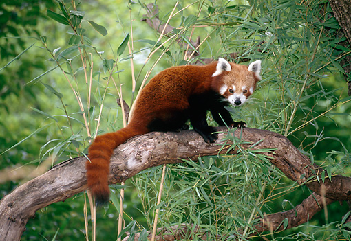 MAM 20 KH0002 01 © Kimball Stock Red Lesser Panda Sitting On Tree Branch