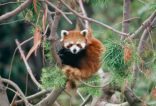 MAM 20 RK0006 06 © Kimball Stock Lesser Panda Sitting In Tree Facing Camera