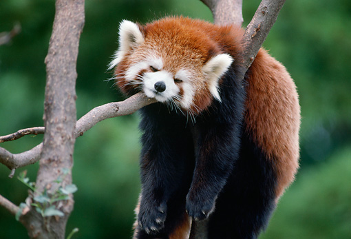 MAM 20 GR0001 01 © Kimball Stock Red Lesser Panda Sleeping In Tree