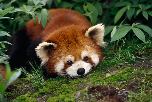 MAM 20 TL0001 01 © Kimball Stock Head Shot Of Red Lesser Panda