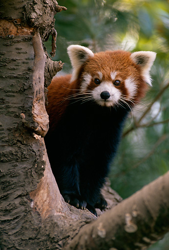 MAM 20 TL0002 01 © Kimball Stock Red Lesser Panda In Tree