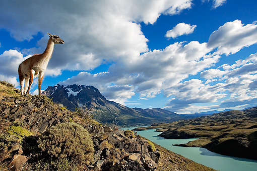 MAM 22 MH0002 01 © Kimball Stock Guanaco Standing On Hillside Overlooking Lake Chile