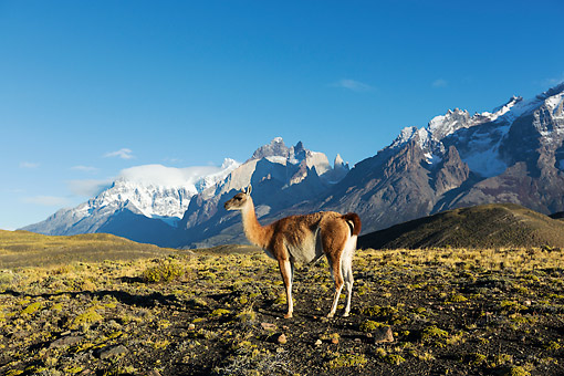MAM 22 MH0003 01 © Kimball Stock Guanaco Standing On Hillside By Torres Del Paine Mountains, Chile