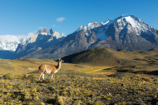 MAM 22 MH0004 01 © Kimball Stock Guanaco Standing On Hillside By Torres Del Paine Mountains, Chile
