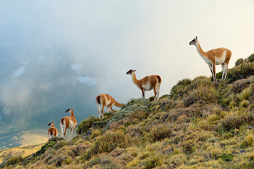 MAM 22 MH0005 01 © Kimball Stock Group Of Guanaco Standing In Mist On Hillside By Torres Del Paine Mountains, Chile