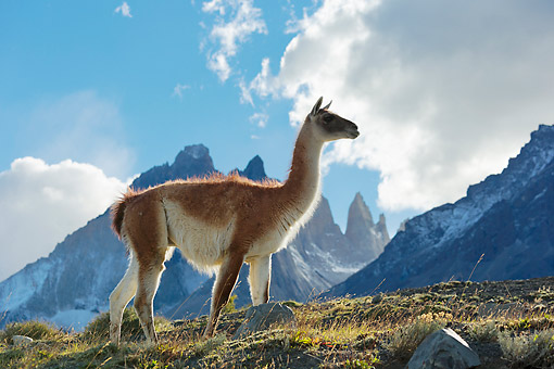 MAM 22 MH0006 01 © Kimball Stock Guanaco Standing On Hillside By Torres Del Paine Mountains, Chile