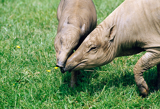MAM 23 GL0003 01 © Kimball Stock Close-Up Of Two South American Tapirs Nuzzling On Grass