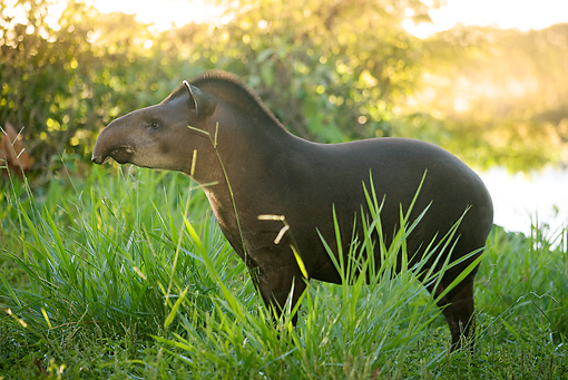 MAM 23 JE0001 01 © Kimball Stock South American Tapir Standing In Grass South America