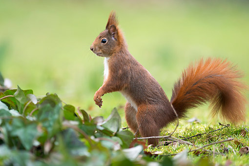 MAM 24 AC0004 01 © Kimball Stock Red Squirrel Standing In Grass In Germany