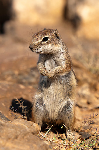 MAM 24 AC0006 01 © Kimball Stock Barbary Ground Squirrel Standing, Canary Islands