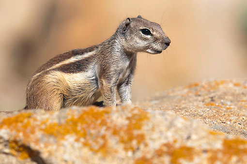 MAM 24 AC0010 01 © Kimball Stock Barbary Ground Squirrel Standing, Canary Islands