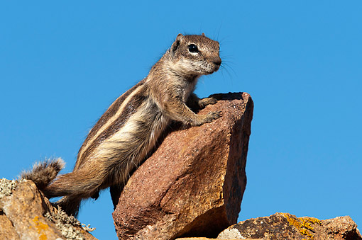 MAM 24 AC0011 01 © Kimball Stock Barbary Ground Squirrel Standing, Canary Islands