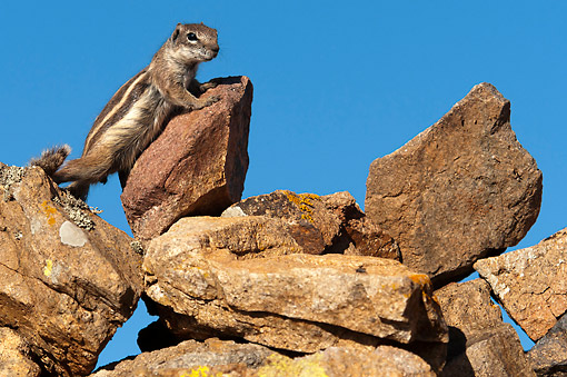 MAM 24 AC0012 01 © Kimball Stock Barbary Ground Squirrel Standing, Canary Islands