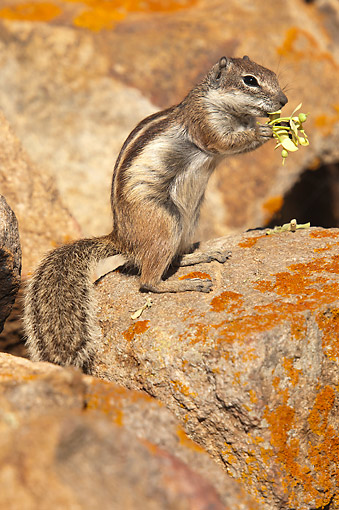 MAM 24 AC0013 01 © Kimball Stock Barbary Ground Squirrel Eating, Canary Islands