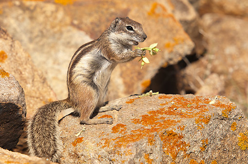 MAM 24 AC0014 01 © Kimball Stock Barbary Ground Squirrel Eating, Canary Islands