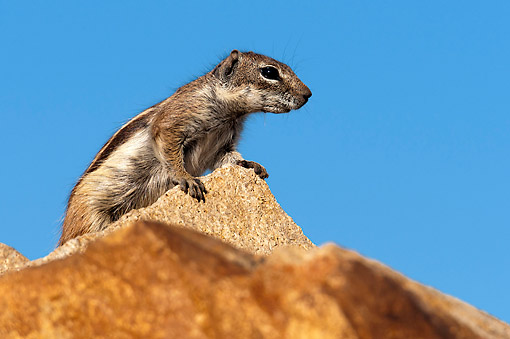 MAM 24 AC0015 01 © Kimball Stock Barbary Ground Squirrel Looking, Canary Islands