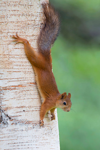 MAM 24 AC0016 01 © Kimball Stock Eurasian Red Squirrel Climbing Down Tree, Finland